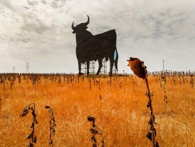 Gunnar Knechtel Photography, Spanien, Stiere in Andalusien. Osborne Stier.In der naehe von Jerez de la Frontera auf einem Sonnenblumenfeld.Fotografiert Anfang August fuer ADAC Reisemagazin.
