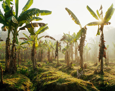 Banana Trees - Kerala India