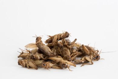 House crickets.