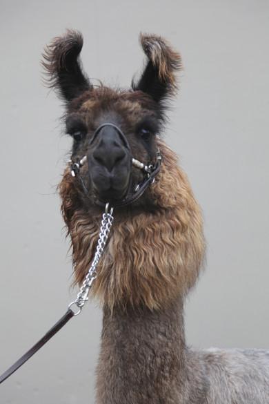 Jan.8th, 2011. Therapy Llama Story.