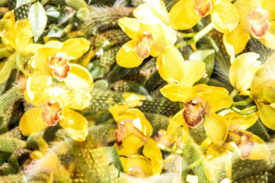 double-exposure image of cactus and cymbidiums, or boat orchids, at the New York Botanical Garden's 16th annual Orchid Show in New York.