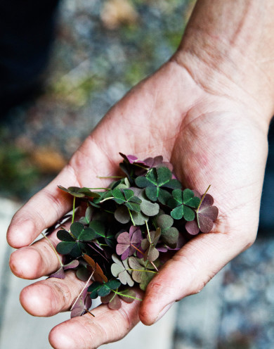 Lummi Island, Washington -- The Willows -- a handful of wood sorrel