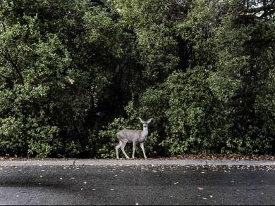 Deer_13x19_M2A8414