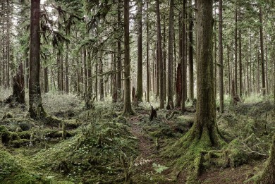 Mossy_Quinalt_forest