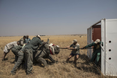 Rhino Relocation from South Africa to Botswana