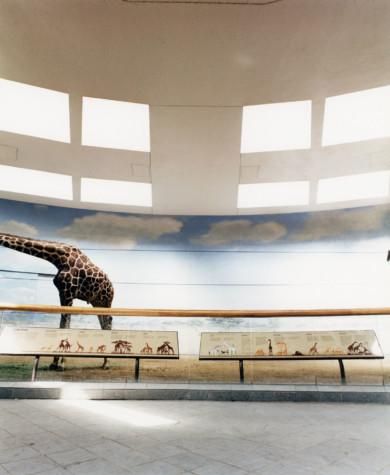 USA, New York, Zoo, Giraffe