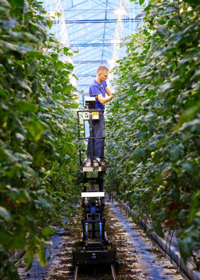 CO2 recycling by speeding up tomato growth