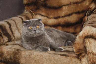 2015-July-03. Lviv, Ukraine. This is a British Blue cat at a home in Lviv.